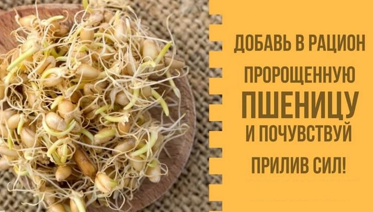 Пророщенные зерна пшеницы: польза, вкусные рецепты.