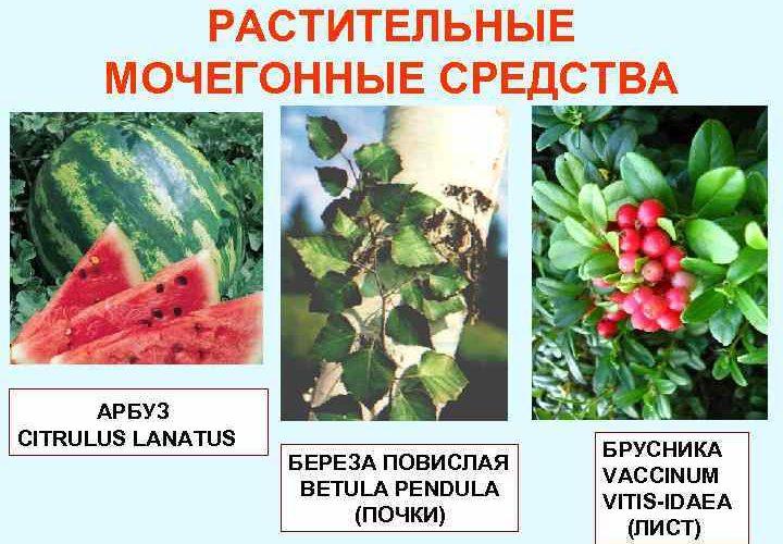 Мочегонные травы: применение, название трав, способ применения.