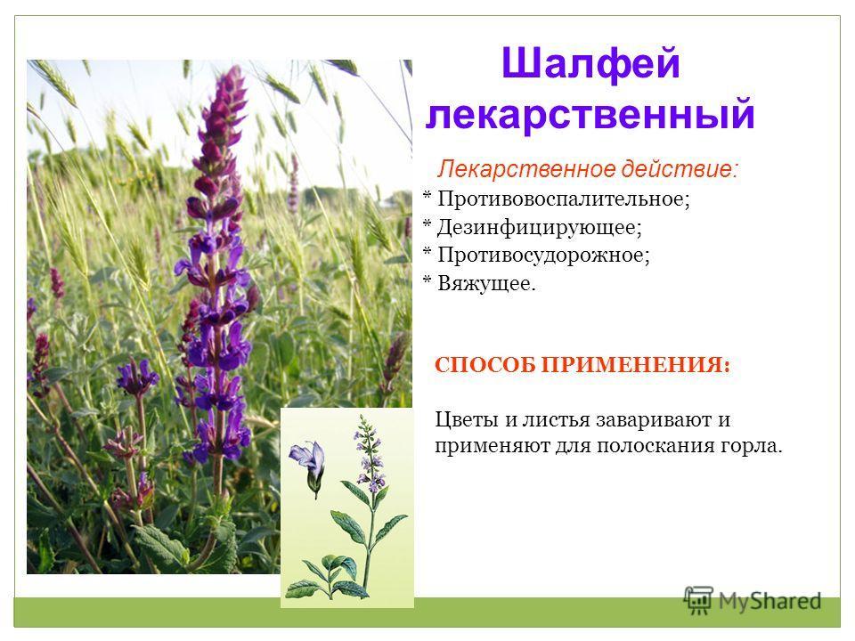 противовоспалительное растение