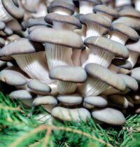 Готовим грибы вешенки и шампиньоны с луком и мясом.