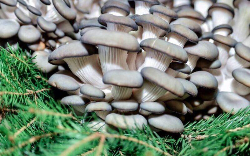 готовим грибы вешенки и шампиньоны